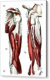 Arm Muscles Acrylic Print