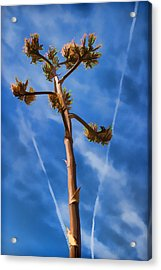Arms Spread Wide Acrylic Print by Scott Campbell