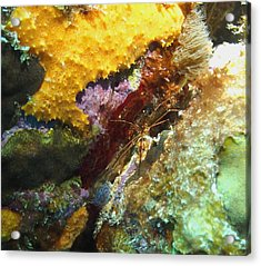 Acrylic Print featuring the photograph Arrow Crab In A Rainbow Of Coral by Amy McDaniel