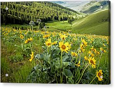 Acrylic Print featuring the photograph Arrow Leaf Balsam Root by Jack Bell