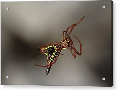 Arrow-shaped Micrathena Spider Starting A Web Acrylic Print