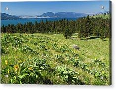 Arrowleaf Balsamroot Blooming On Wild Acrylic Print by Chuck Haney