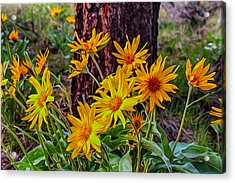 Acrylic Print featuring the painting Arrowleaf Balsamroot by Omaste Witkowski