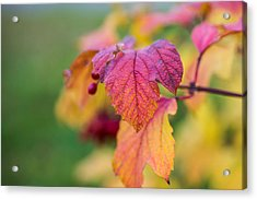 Arrowwood Leaf - Featured 3 Acrylic Print by Alexander Senin