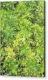 Artemisia Vulgaris 'oriental Limelight' Acrylic Print by Geoff Kidd