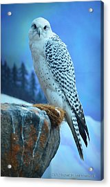 Artic Falcon Acrylic Print by Janis Knight