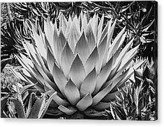 Artichoke Agave B W Acrylic Print by Kelley King