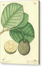 Artocarpus Chaplasha Acrylic Print