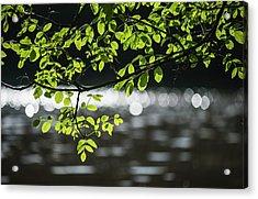 Ash Tree Growing Near Water Acrylic Print by Robert L. Potts