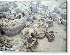 Ashfall Fossil Beds Fossils Acrylic Print