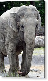 Acrylic Print featuring the photograph Asian Elephant by Bob Noble Photography
