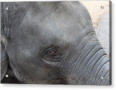 Asian Elephant Face Acrylic Print by Colin Smeaton