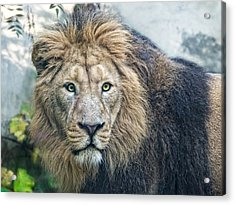 Asian Lion Acrylic Print by Joachim G Pinkawa