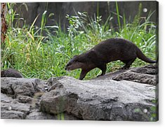 Asian Small Clawed Otter - National Zoo - 01135 Acrylic Print by DC Photographer