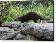 Asian Small Clawed Otter - National Zoo - 01136 Acrylic Print