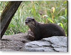 Asian Small Clawed Otter - National Zoo - 01137 Acrylic Print