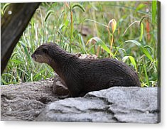 Asian Small Clawed Otter - National Zoo - 01138 Acrylic Print by DC Photographer