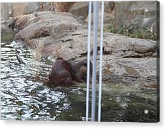 Asian Small Clawed Otter - National Zoo - 01139 Acrylic Print