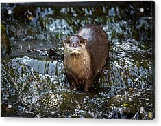 Asian Small-clawed Otter Acrylic Print by Paul Williams