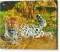 Asian Snow Leopard Acrylic Print