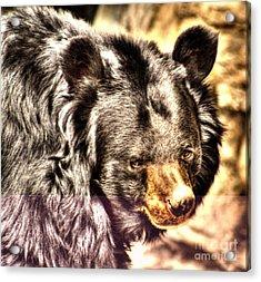 Asiatic Black Bear Acrylic Print