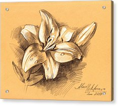 Asiatic Lily Flower With Bud Sketch Acrylic Print