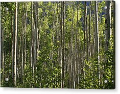 Aspen Along Independence Pass  Acrylic Print by Jacqueline Russell