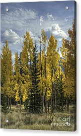 Aspen And Evergreen Acrylic Print