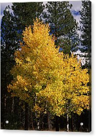 Aspen And Ponderosa Pine Trees Acrylic Print