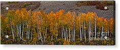 Acrylic Print featuring the photograph Aspen Band by Steven Reed
