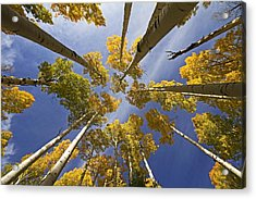 Aspen Color Acrylic Print by Sue Cullumber