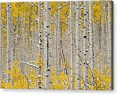 Aspen Forest In Autumn Acrylic Print by Leland D Howard