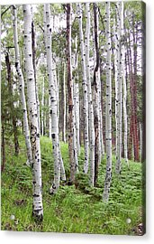 Aspen Forest Acrylic Print by Laurel Powell