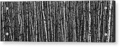 Aspen Forest Acrylic Print by Paul Freidlund