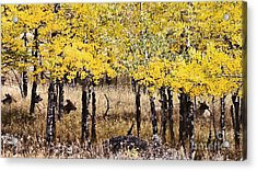 Aspen Grove Afternoon Acrylic Print