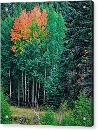 Aspen-orange Before Yellow Acrylic Print by Larry Bodinson