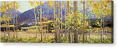 Panorama View Of Aspen Trees Acrylic Print