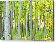 Aspen Tree Forest Autumn Time  Acrylic Print