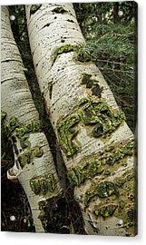 Aspen Tree In Colorado Acrylic Print