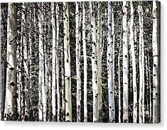 Aspen Tree Trunks Acrylic Print by Elena Elisseeva