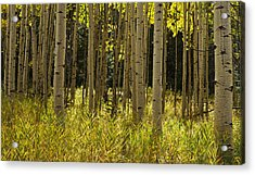 Aspen Trees All In A Row Acrylic Print