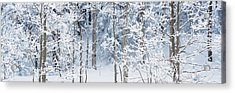 Aspen Trees Covered With Snow, Taos Acrylic Print