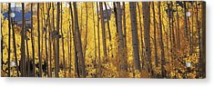 Aspen Trees In Autumn, Colorado, Usa Acrylic Print by Panoramic Images