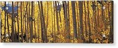 Aspen Trees In Autumn, Colorado, Usa Acrylic Print