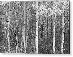 Aspen Trees In Black And White Acrylic Print by Sheri Van Wert