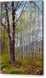 Aspen Trees Proudly Standing Acrylic Print by Omaste Witkowski