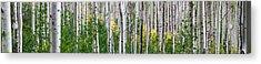 Aspen Trees Acrylic Print by Steve Gadomski