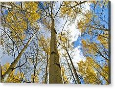 Aspen Tress To The Sky Acrylic Print