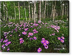 Aspens And Asters Acrylic Print