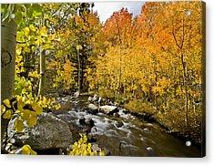 Aspens At Bishop Creek Acrylic Print